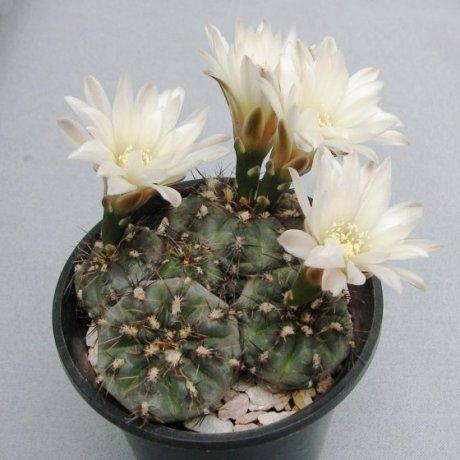 110504-Sany0159-G. taningaense-P 212-mesa seed 490.37