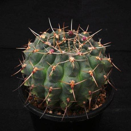 110621-Sany0063-G. schroederianum v. paucicostatum-LB 960-Piltz seed 3142