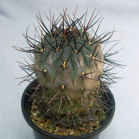 110629-Sany0163-G. gibbosum v.  pseudonobile- Uhlig-Tutiya