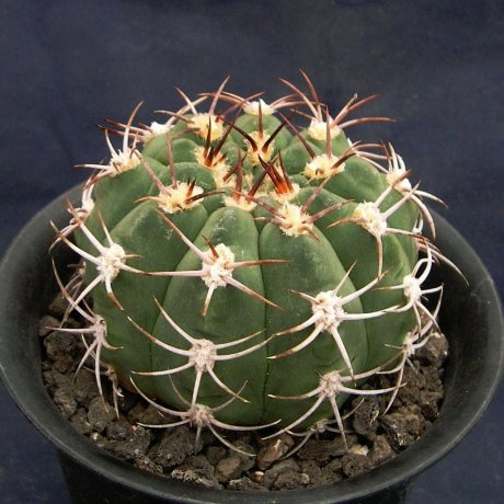 090707-Sany0142-nigriareolatum.v.simoi-P39--Sa. Graciana,Catamarca-Piltz.seed