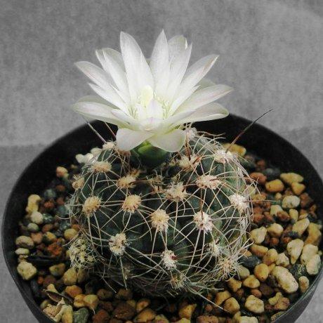 110508-Sany0094-G. bruchii v. cumbrecitense-GN 232-718--Calamchita--Piltz seed 3585-Milena