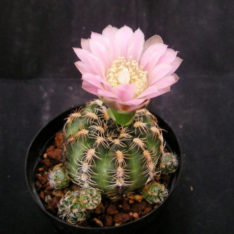 110331-Sany0097-G. bruchii v. glaucum-GN 230-678-Los Reartes, Cordoba- -Piltz seed 3407