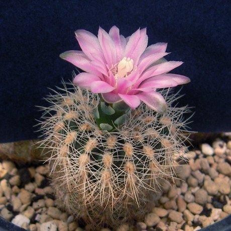 080510-Sany0149-bruchii v niveum-OF-25-80-Piltz seed.1808