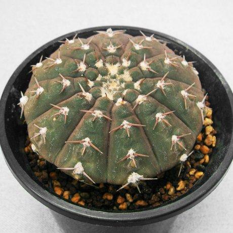 110705-Sany0229-G. riojense ssp.  paucispinum-STO 007-Eden 15036