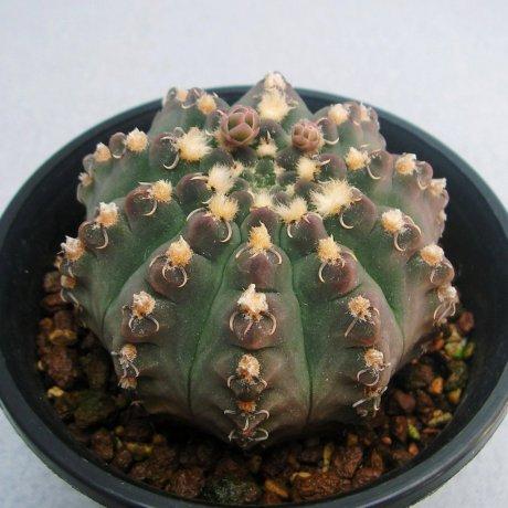 110629-Sany0174-G. quehlianum v. kleinianum-Piltz seed 2303