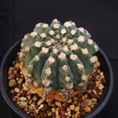 101102-Sany0044-quehlianum v. kleinianum-STO 648--Bialet Masse--Amerhauser seed-Tutiya