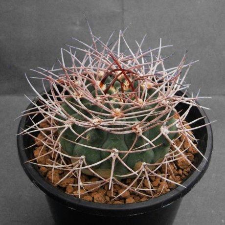 100427-Sany0207-mazanense-P30-Quebrada de Cebila, 1000--Piltz.seed.4200