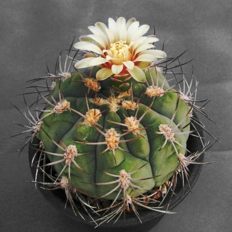 110505-Sany0221-G. ambatoense-VS 131-- Catamarca, Miraflores, 1100m, Sierra Ambato-Mesa seed 453.974
