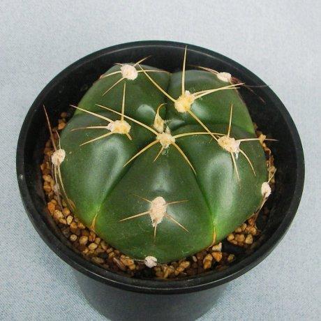 110820-Sany0151-G. horsti-LB 253--Minas de Camaqua--Bercht seed