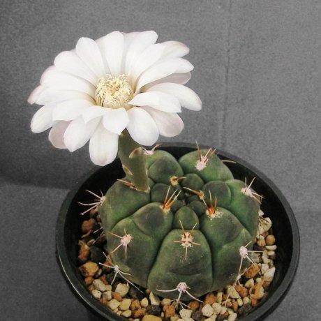 110514a-Sany0045-G. capillense v. mucidum-GN 383-1281-- El Portrero -Piltz seed 3215--Milena