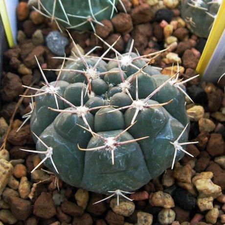 091012-Sany0158-capillense.v.mucidum-GN383-1281--El Potrero, Cordoba-Piltz.seed.3215