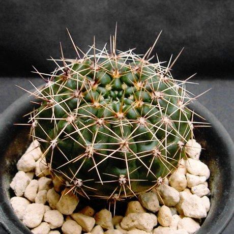 080608-Sany0204-reductum.v.schatzlianum-WP61-73B--Sa. de Vigilancia--Buenos Aires--Piltz.seed.3782