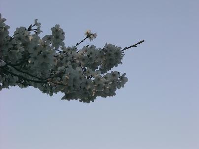 普通の桜だって、ちゃんと撮影しますよ~