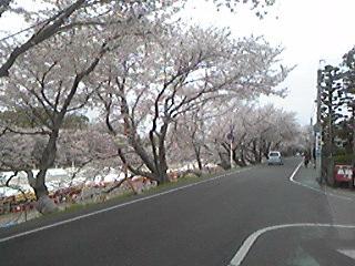 旭川 土手 桜100409