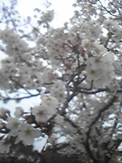 花回廊GC 桜100331
