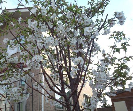 24.5.6千島桜