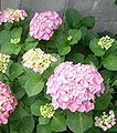 106px-Hydrangea_macrophylla_2004ja_01.jpg