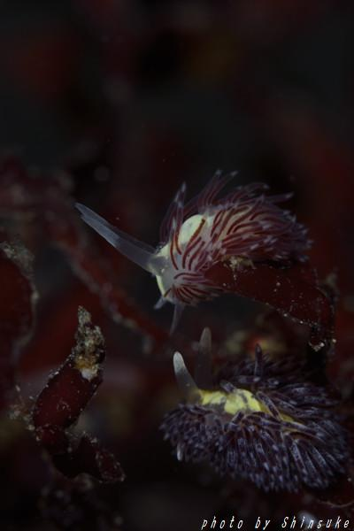 ミノウミウシの一種