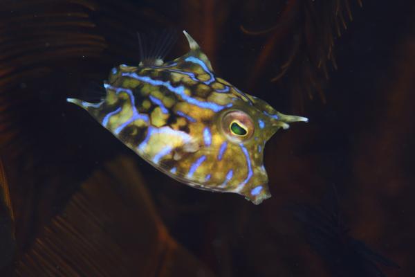 シマウミスズメ1