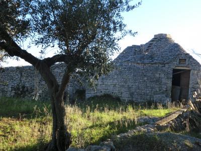 オリーブ畑と廃トゥルッリ