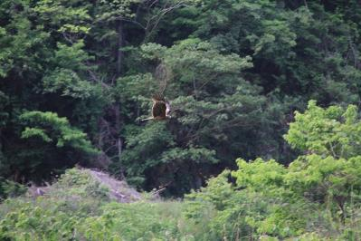 2010-05-31_EOS 7D_1593、「トビ・鳶」、2010.5.31.、東城、2