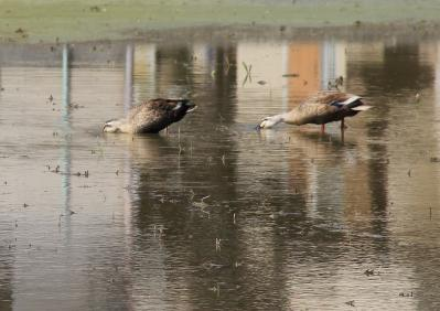 2010-06-03_EOS 7D_1805、「カルガモ、田圃のパトロール隊」、2010.6.3.、福山・川口、4
