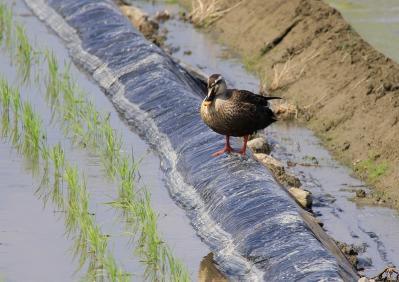 2010-06-03_EOS 7D_1811、「カルガモ、田圃のパトロール隊」、2010.6.3.、福山・川口、5