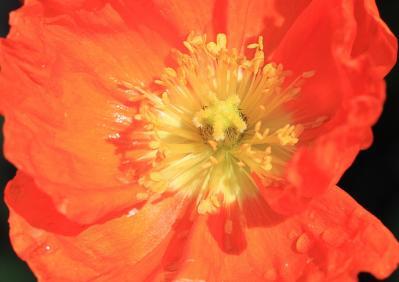 2010_06_08EOS 7D2373トリミング、「アイルランドポピー・雛罌粟」、2010.6.8.、油木、1