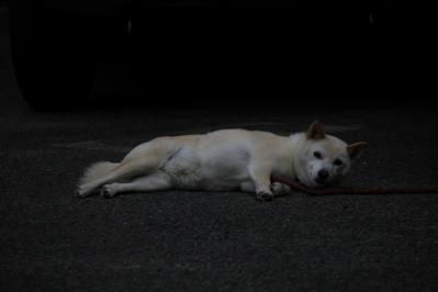 2010-06-30_EOS 7D_2570、2010.6.30.新市、「暑さでバテ気味の犬」、「お昼寝からの目覚め」、1