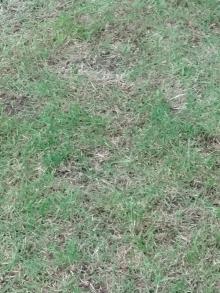 10月21日 撒いていない芝
