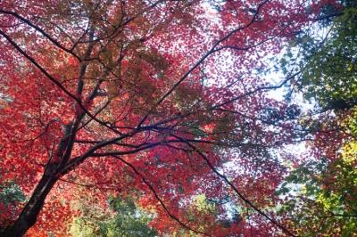 20131123_AutumnLeaves_Miyajima_GXR_Summarit50-15.jpg