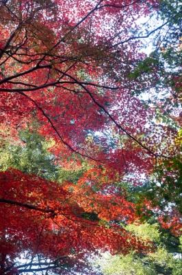 20131123_AutumnLeaves_Miyajima_GXR_Summarit50-16.jpg