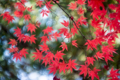 20131123_AutumnLeaves_Miyajima_GXR_Summarit50-18.jpg