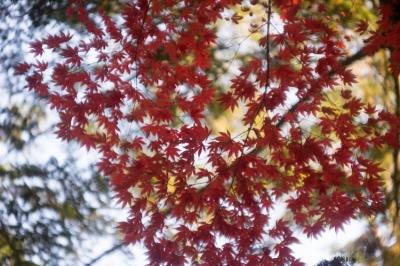 20131123_AutumnLeaves_Miyajima_GXR_Summarit50-19.jpg