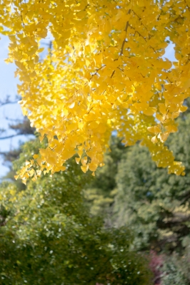 20131123_AutumnLeaves_Miyajima_GXR_Summarit50-1.jpg