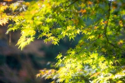 20131123_AutumnLeaves_Miyajima_GXR_Summarit50-20.jpg
