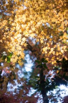 20131123_AutumnLeaves_Miyajima_GXR_Summarit50-21.jpg
