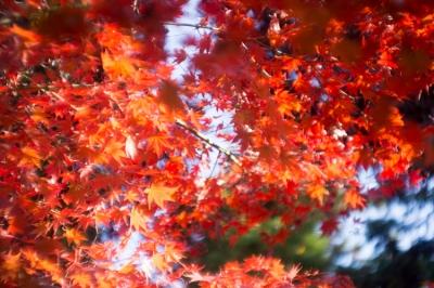20131123_AutumnLeaves_Miyajima_GXR_Summarit50-27.jpg