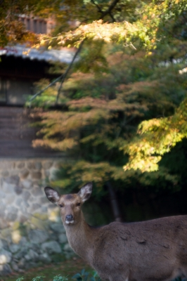 20131123_AutumnLeaves_Miyajima_GXR_Summarit50-30.jpg