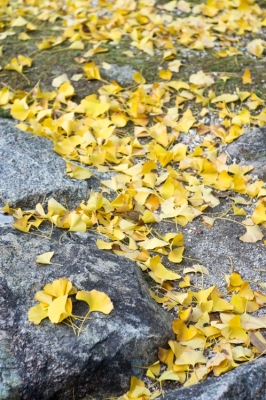 20131123_AutumnLeaves_Miyajima_GXR_Summarit50-32.jpg