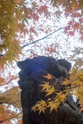 20131123_AutumnLeaves_Miyajima_GXR_Summarit50-40.jpg