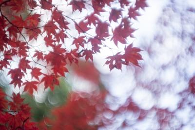 20131123_AutumnLeaves_Miyajima_GXR_Summarit50-45.jpg