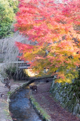 20131123_AutumnLeaves_Miyajima_GXR_Summarit50-47.jpg