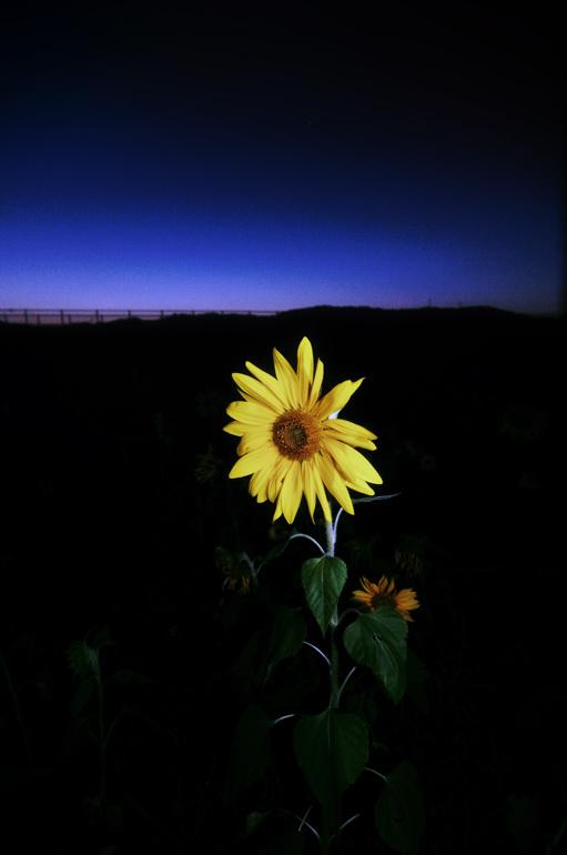 晩秋に咲く向日葵