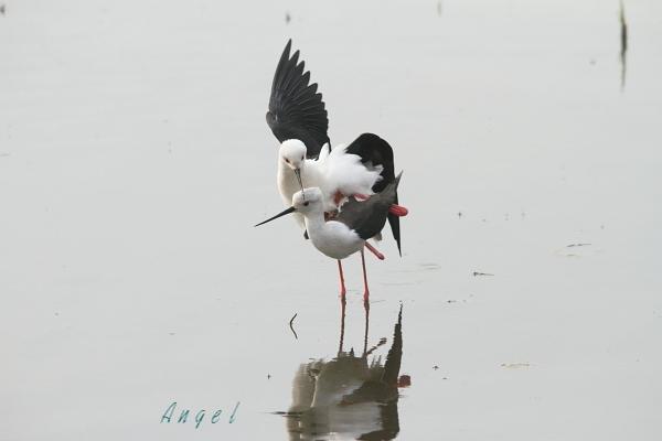 セイタカシギ(22759)