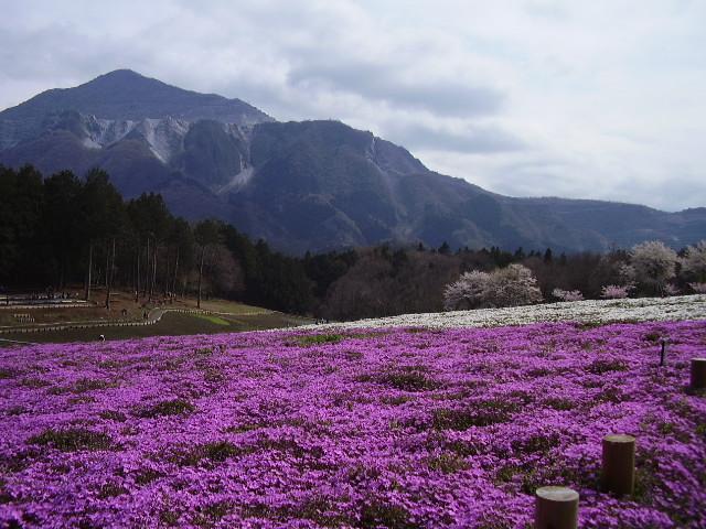 桜と芝桜と武甲山