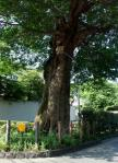 椋の老樹-01D 0706qrc