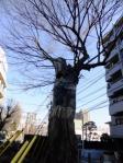椋の老樹-04D 1101q