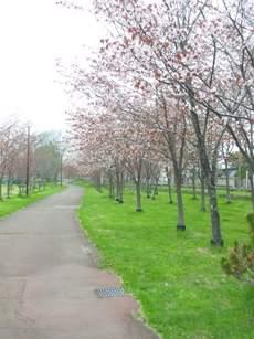 まだまだ続く桜並木。