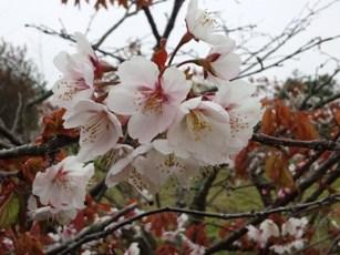 蝦夷山桜☆
